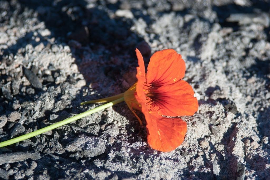 urnen en urnengraven roos op as